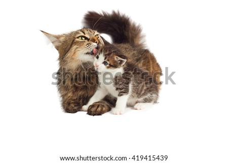 Cat licking kitten on a white background - stock photo