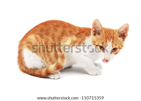 cat liking chops on white
