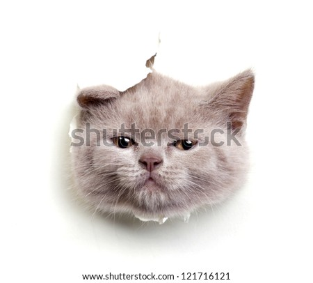 cat look out from the hole in paper  isolated on white - stock photo