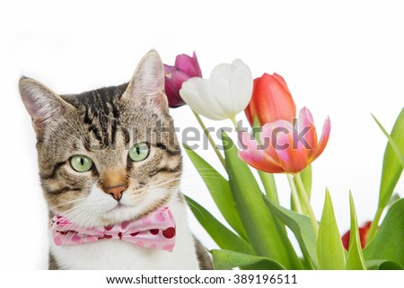 Cat  looking  to camera with tulips flowers  isolated on white background.