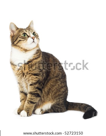 Cat looking up. Copy space. Isolated - stock photo