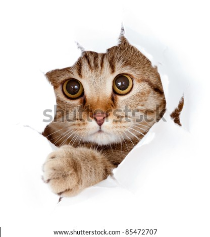 cat looking up in paper side torn hole isolated - stock photo
