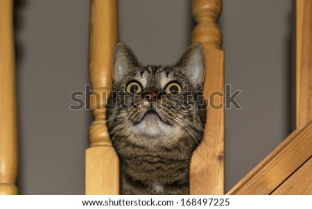 Cat Looks Stuck In Stairway. This Is A Female Tabby Pet Cat Withdrawing Its  Head