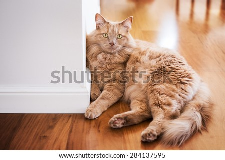Cat lying against the wall - focus on the cat face - color version - stock photo