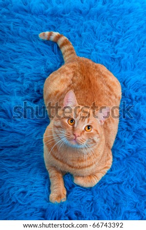 Cat lying on blue carpet is looking up