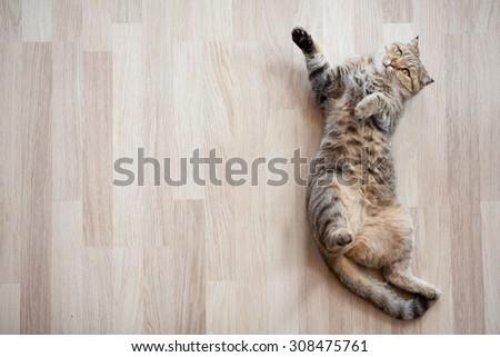 Cat lying on parquet floor top view - stock photo