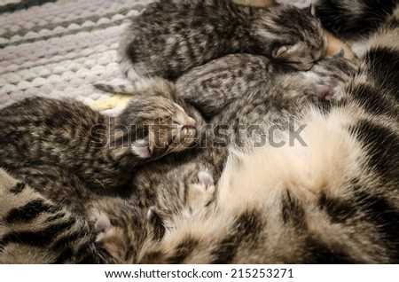 cat lying on the floor and feeds the kittens - stock photo