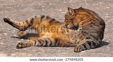 Cat lying on the road and licks itself - stock photo
