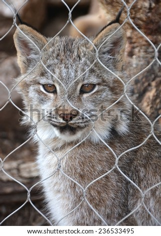 Cat/lynx in zoo looking through wire fence with green eyes/reflection of people in cat's eyes/closeup/portrait - stock photo