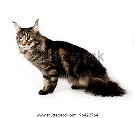 Cat Maine coon, female , on white background - stock photo