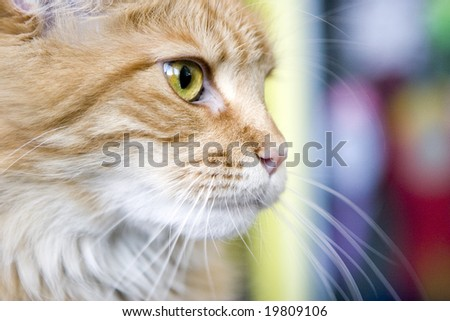 Cat Maine Coon with green eyes - stock photo