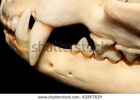 Cat mandible (Felis silvestris catus).