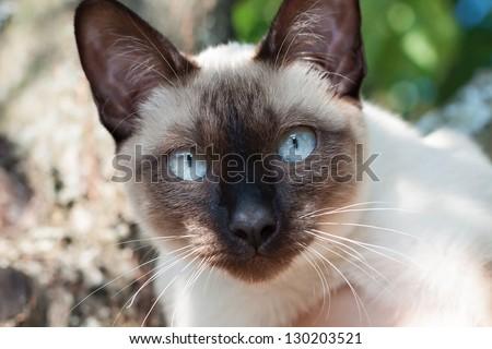 Cat, Mekong bobtail - stock photo