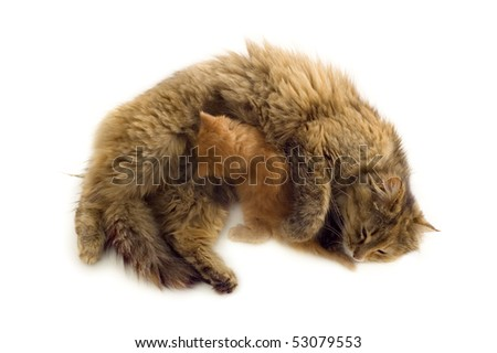 cat mother feeds red kitten isolated on white background - stock photo