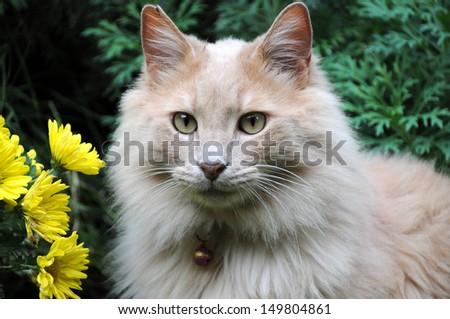 Cat Near Yellow Daisies - stock photo