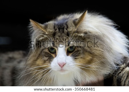 Cat - Norwegian Forest, a portrait
