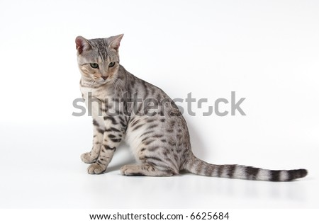 cat of bengals breed - stock photo