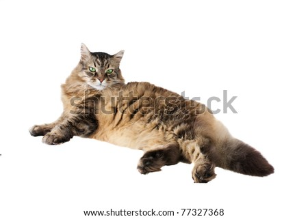 Cat of breed of Maine Coon    on white background - stock photo