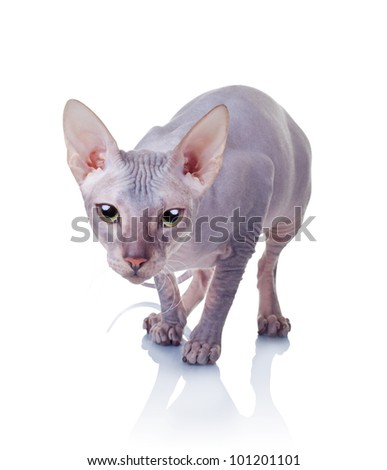 Cat of Don Sphynx breed isolated on white background - stock photo