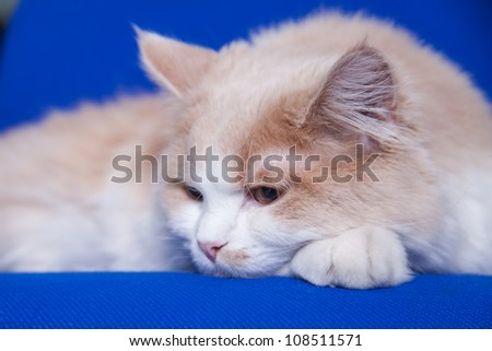 cat on a blay background - stock photo