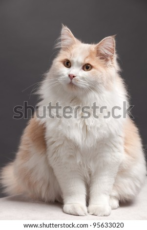 cat on a grey background - stock photo