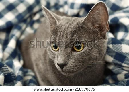 Cat on blue blanket closeup - stock photo