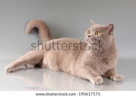 cat on gray background - stock photo