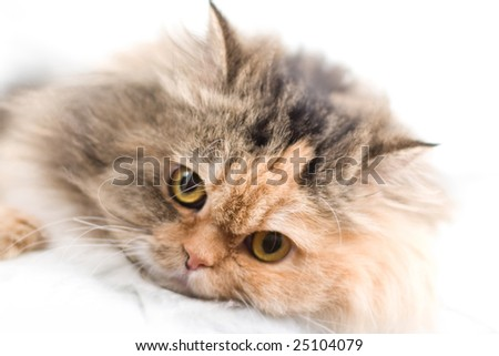 Cat on gray background. Please, see my portfolio with similar photos. - stock photo