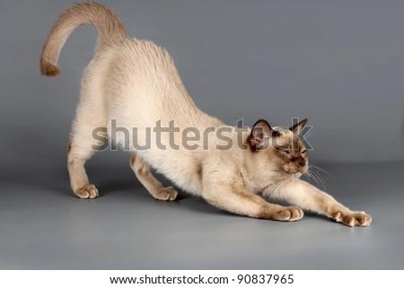 Cat on grey background - stock photo