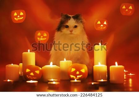 cat on Halloween - stock photo