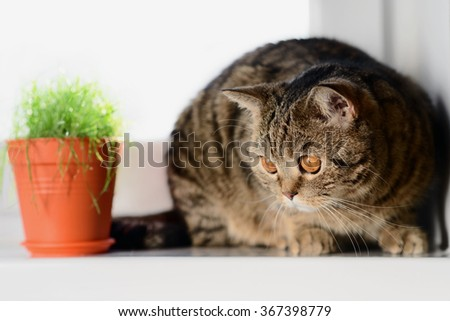 cat on the white window with grass in a pot - stock photo