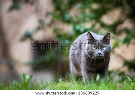 Cat outdoors on a green lawn, walking towards you - stock photo
