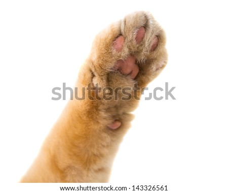 cat paw isolated on white background - stock photo