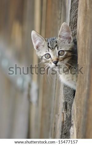 Cat peeking from a barn door - stock photo