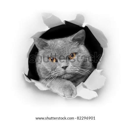 Cat peeking out of a paper hole, isolated on white background - stock photo