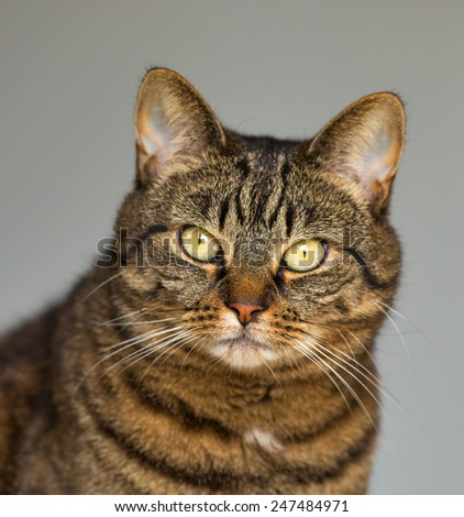 Cat peering. This is a Scottish Tabby Cat peering at the activity in the garden outside. - stock photo