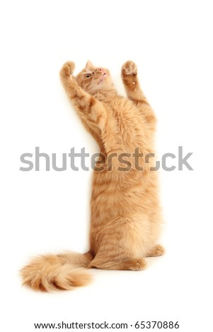 cat playful isolated on white background - stock photo