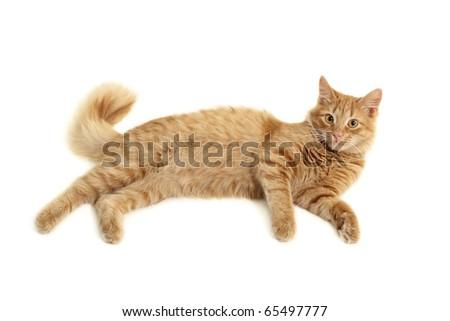 cat playful isolated on white background - stock photo