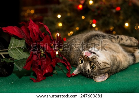 Cat playing with Poinsettia - stock photo