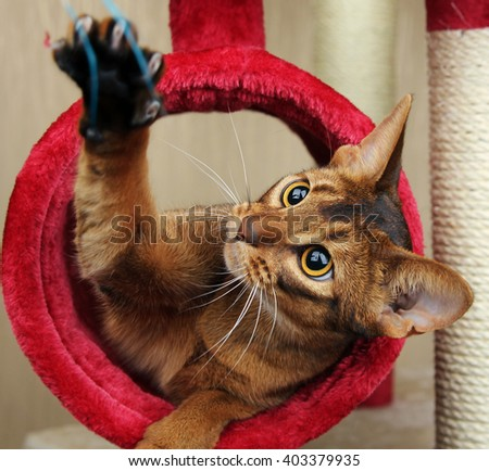 Cat playing with toy, feathered pole - stock photo