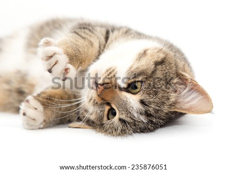 cat plays on a white background