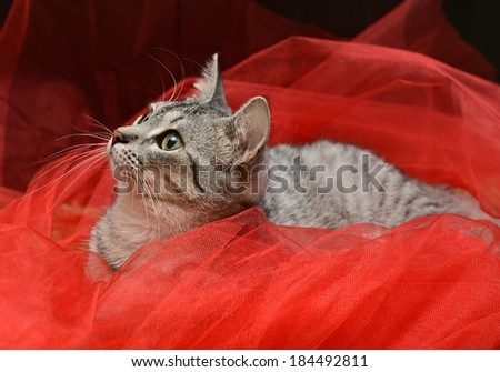 Cat portrait close up, looking to the top, cat head, streaky cat lying on red background, one cat in flat, domestic animal, cat on red Christmas decoration, playing cat, cat on christmas - stock photo