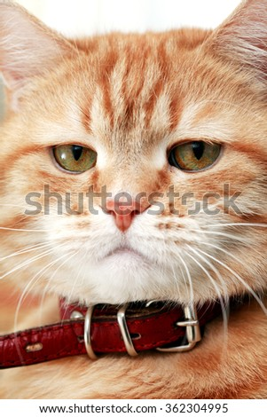 Cat portrait. Extreme closeup domestic ginger in red collar - stock photo