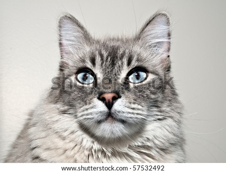 Cat portrait on grey background - studio portrait
