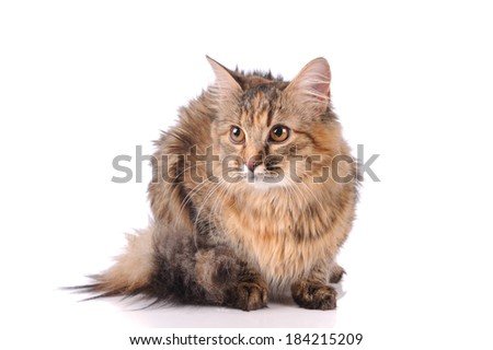 cat posing isolated over white background