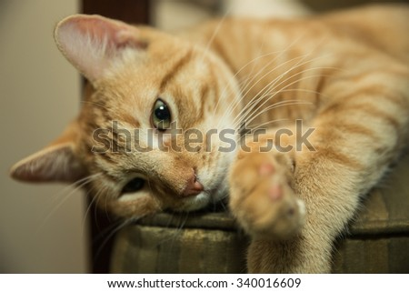 Cat posing on chair, thinking, paws crossed, orange Tabby with stripes - stock photo