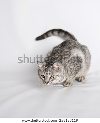 Cat preparing to jump close up, little cat, domestic cat, curious cat, cat portrait in studio - stock photo