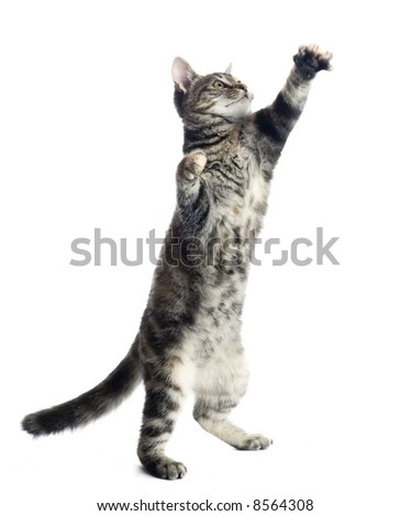 Cat reaching out for a toy out of the frame. You can easily insert the desired toy or any other object - stock photo
