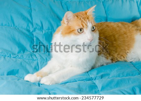 cat, red and white, on a blue background - stock photo