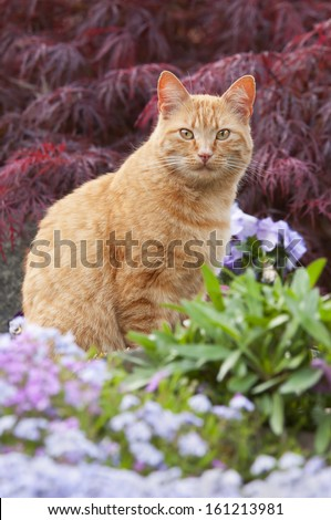 Cat, red tabby, in a flowering garden - stock photo